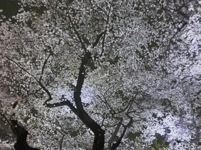 一面の桜1
