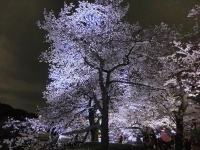 一面の桜3