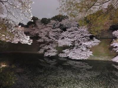 お堀沿いの桜3