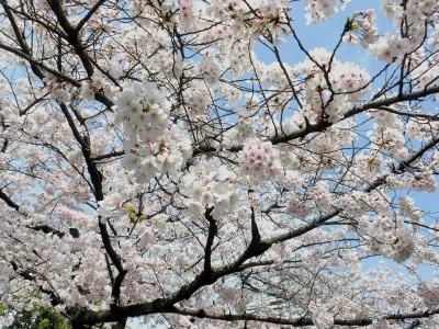 靖国神社桜アップ