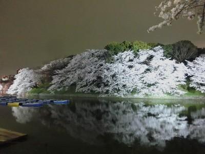 お堀沿いの桜1