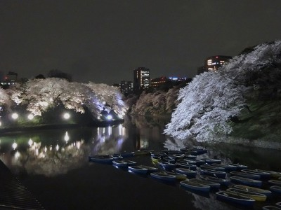 お堀沿いの桜2
