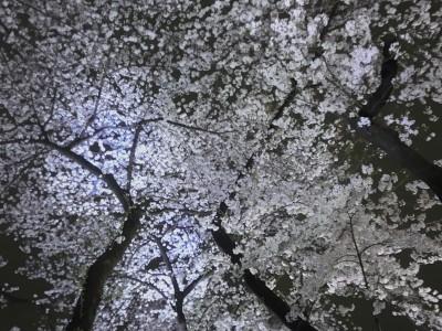 一面の桜2