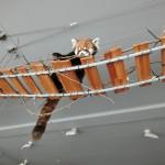 円山動物園 レッサーパンダ