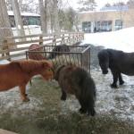 円山動物園 小さい馬