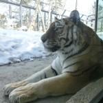 円山動物園 トラ