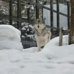 円山動物園 オオカミ
