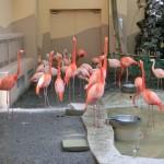 円山動物園 フラミンゴ