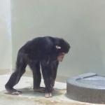 円山動物園 チンパンジー