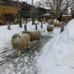 円山動物園 羊