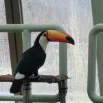 円山動物園 オオハシ