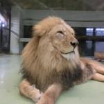 円山動物園 ライオン2