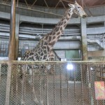 円山動物園 キリン
